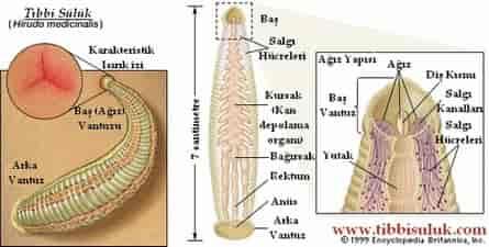 suluklerin yapisi - Sülük Tedavisinin Tarihçesi